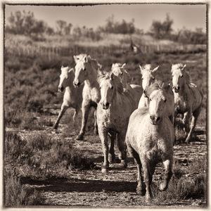chevaux, Camargue