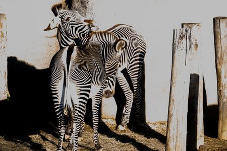 zoo, Zèbre