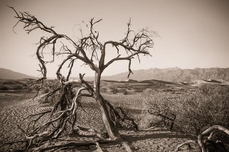 Arbre, desert, death valley