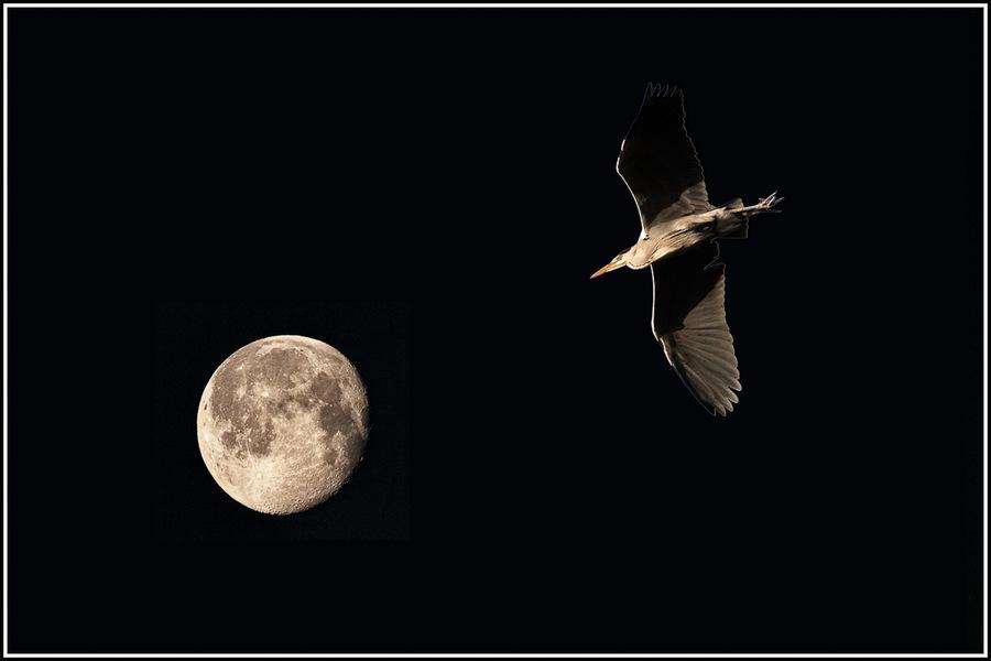 lune, nuit, héron