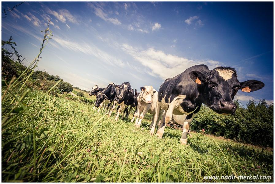 vaches, mouches, Bretagne