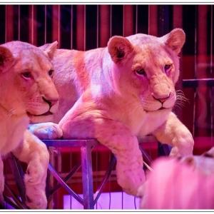 lionceaux blanc cirque pinder