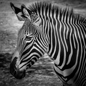 Zèbre, parc zoologique, Vincennes, rayures