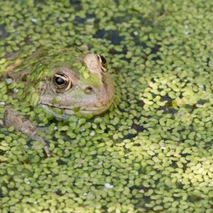 grenouille, verte, eau