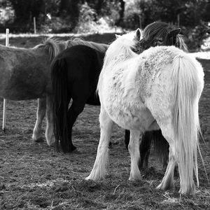cheval, poney