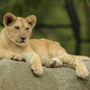 lionceau, photo animalière