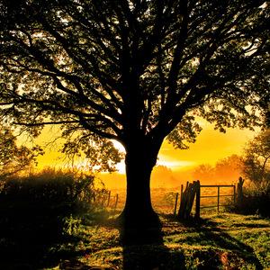 chêne, Arbre, soleil, couché de soleil, campagne