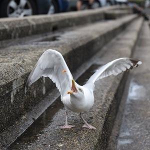Oiseau - Mouette