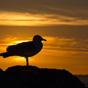 goeland, coucher de soleil