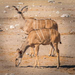 springboks, NAMIBIE, Etosha, Animaux