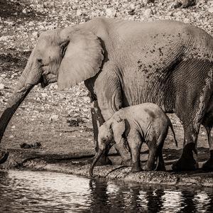 elephant, NAMIBIE, Etosha, Animaux