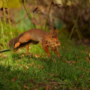 écureuil en pleines courses