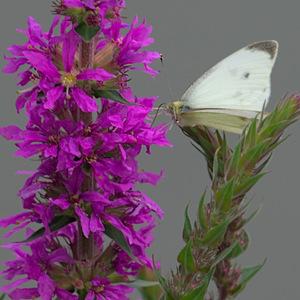 un papillon sa trompe