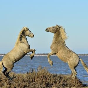 cheval, Camargue