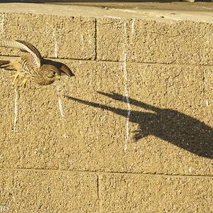 Faucon crécerelle femelle en vol