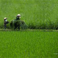 Rizière, Vert, Vietnam