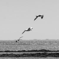 Vol de mouettes