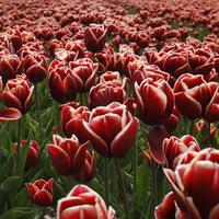 fleur, tulipe