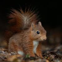 Ecureuil peluche