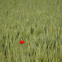Coquelicot dans les blés