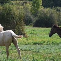 chevaux picardie