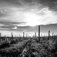 vigne, contre-jour