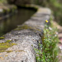 Levada, Madere, fleur