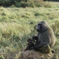 Babouin et son petit - Masaï mara