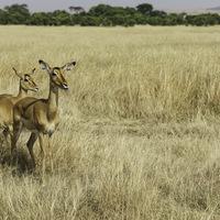 Impalas femelle - Masaï mara