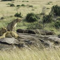 Lionceaux - Masaï mara