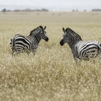Zèbres de Grant - Masaï mara